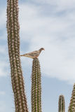 Pigeon Roosting on Cactus Stock Photography