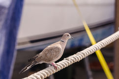 Pigeon on rope cable Royalty Free Stock Photos