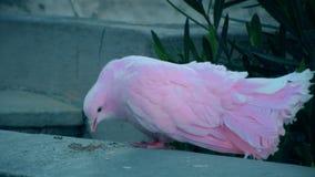 Pigeon rose banque de vidéos