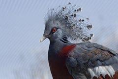 Pigeon royal Photo stock