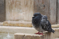 Pigeon ruffling its feathers Royalty Free Stock Photo