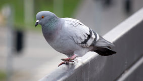 A pigeon running away, ready to fly from the railing. A staring pigeon next to shopping centre decided to leave his position on the railing so he made few steps stock photography