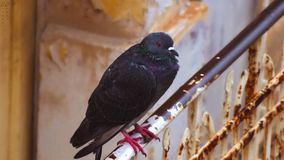 Pigeon on a rusted rail royalty free stock photo