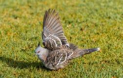 Pigeon séchant une aile Images stock