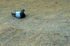 Pigeon s'?tendant sur le goudron avec un regard contrari? photo libre de droits