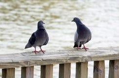 Pigeon's conversation Stock Photos