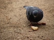 Pigeon's Lunch Spiced By Human Touch Stock Photo