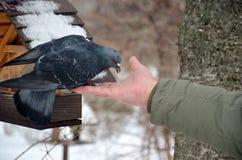 Pigeon& x27; s śniadanie Obrazy Royalty Free