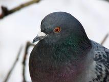 Pigeon sage Photo libre de droits