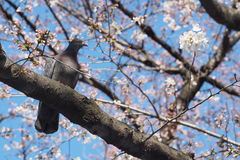 A PIGEON ON A SAKURA TREE Stock Image
