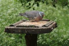 Pigeon sauvage photographie stock libre de droits