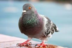 Pigeon sauvage Images libres de droits