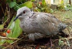 Pigeon sauvage Photographie stock