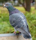 Pigeon sauvage en parc de Londres Image libre de droits