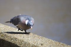 Pigeon se penchant Photographie stock