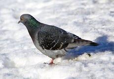 Pigeon se reposant sur la neige Photos libres de droits