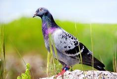 Pigeon se reposant sur la roche Photos stock