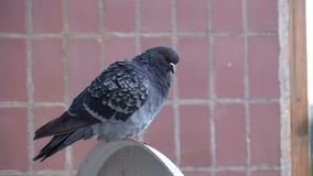 Pigeon se reposant sur la rue près de la maison Mouvement lent banque de vidéos