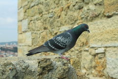 Pigeon se reposant sur le mur en pierre Photos stock