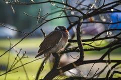 Pigeon se reposant sur une branche d'arbre un jour ensoleillé d'automne image libre de droits