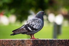 Pigeon se reposant sur une colonne de marbre image libre de droits