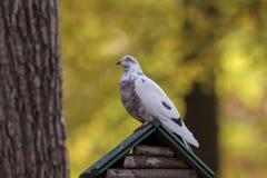 Pigeon se reposant sur une maison en bois Photographie stock
