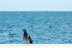 Pigeon se tenant à la mer Photos stock