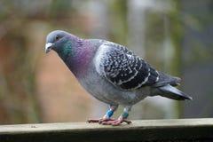 Pigeon se tenant sur le bois Photo libre de droits