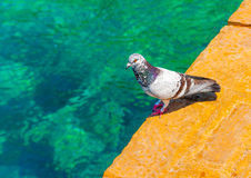 Pigeon by the sea Royalty Free Stock Image