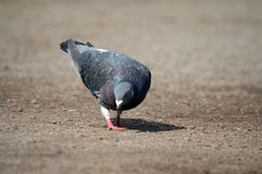 Pigeon is searching for food Stock Photography