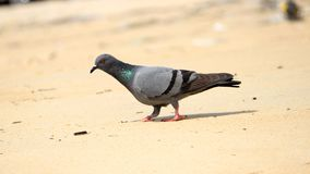 Pigeon at beach. Pigeon searching a food at beach royalty free stock photos