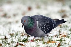 Pigeon searching food in snow Royalty Free Stock Image