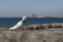 The pigeon Royalty Free Stock Photo