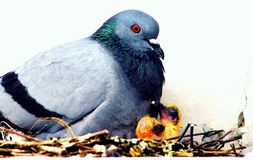 A pigeon seating with her babies stock image