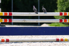 Pigeon seats on a barrier at show jumping event Royalty Free Stock Photography
