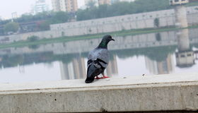 Pigeon Sees Sabarmati Riverfront - Back Part Of The Pigeon. Beautiful pigeon is seated on the scenic riverfront , pigeon bird sees river , Indian black Pigeon in Stock Photo