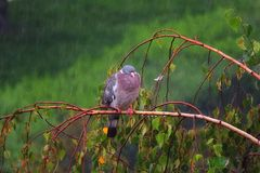 Pigeon seul à la pluie photo libre de droits