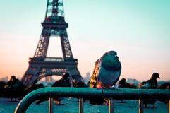 Pigeon seul Image stock
