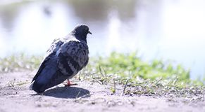 Pigeon on the shore of the pond. A gray bird by the river. The d. Ove feeds near the pond in spring.r Royalty Free Stock Photos