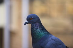 Pigeon with short neck and short slender bills Royalty Free Stock Photos