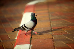 Pigeon on sidewalk. Side view of pigeon walking on pavement or sidewalk Royalty Free Stock Photos