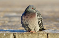 Pigeon on the sidewalk Royalty Free Stock Image