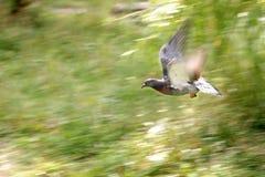 Pigeon, single bird in flight Stock Photography
