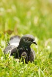 Pigeon Sit Royalty Free Stock Images