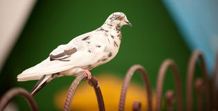 Pigeon sits on fencing Stock Photography