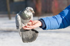 The pigeon sits on a hand of the person stock photo