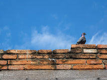 An pigeon sits on old bricks wall. With clear blue sky Stock Images