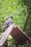 The pigeon sits on the roof of the birdhouse in the park stock photography