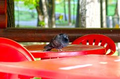 Pigeon sits on the table of a summer cafe, open-air stock photos