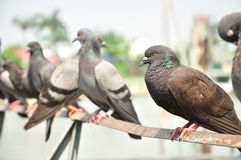 Pigeon sitting Royalty Free Stock Photos